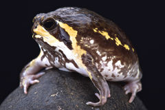 Mozambique rain frog (Breviceps mossambicus) Stock Image