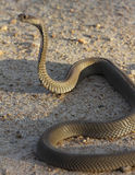 Mozambique Spitting Cobra Royalty Free Stock Images