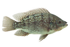 Mozambique Tilapia Fish Royalty Free Stock Images