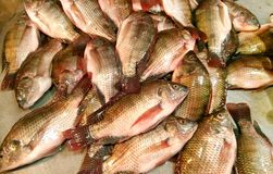 Mozambique tilapia fish. Of South Asia Royalty Free Stock Images