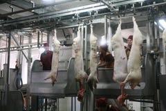 MOZYR, BIELORUSSIA - 22 settembre 2011: La pianta di lavorazione della carne Elaborazione della carne di maiale e del manzo Macch Fotografie Stock