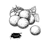 Mozzarella cheese vector drawing. Hand drawn baby mozzarella. With basil and tomato. Italian organic food sketch. Caprese salad ingredients. Farm market product Royalty Free Stock Images