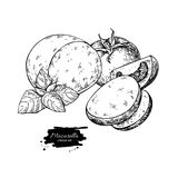 Mozzarella cheese vector drawing. Hand drawn round piece with ba. Sil and tomato. Italian organic food sketch. Caprese salad ingredients. Farm market product for Royalty Free Stock Photography