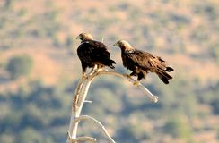 Mperial eagles scan their territory from an innkeeper. A pair of imperial eagles scan their territory from an innkeeper royalty free stock images
