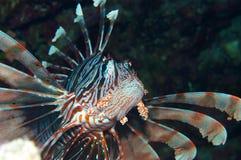 Mpressive-Lionfish stockfoto