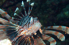 Impressive Lionfish Stock Photo