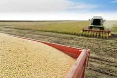 Máquina segadora que cosecha la soja en el campo Fotografía de archivo libre de regalías