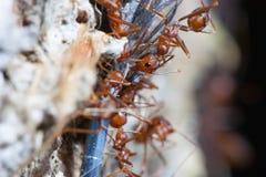 Mrówek biegać Fotografia Stock