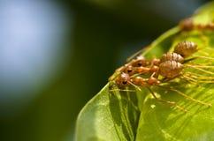 mrówek czerwieni drużyny praca Zdjęcie Royalty Free