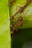 mrówek czerwieni drużyny praca Zdjęcie Stock