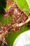 mrówek koloni tkacz Zdjęcia Royalty Free