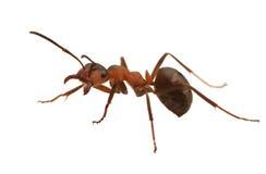 mrówka Obrazy Royalty Free