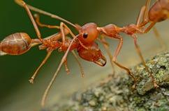 mrówka Fotografia Royalty Free