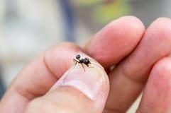 Mrówka chwytająca Obrazy Royalty Free