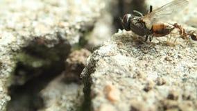 Mrówka ciągnie komarnicy
