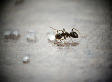 mrówka cukier Zdjęcie Stock
