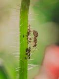 Mrówka i korówki Zdjęcie Stock
