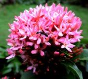 Mrówka i kwiat Fotografia Royalty Free