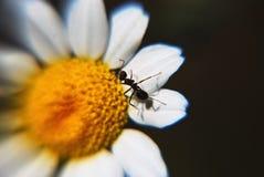 Mrówka i stokrotka Obrazy Stock