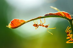 Mrówka, insekt, mrówka jest na liściu Zdjęcie Stock