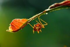 Mrówka, insekt, mrówka jest na liściu Zdjęcia Royalty Free