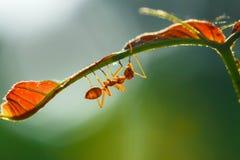 Mrówka, insekt, mrówka jest na liściu Zdjęcie Royalty Free