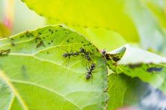 Mrówka insekt na liściu roślina fotografia royalty free
