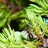 mrówka koń Zdjęcie Royalty Free