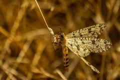 Mrówka lew Palperes Hispanus zdjęcie stock