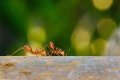 Mrówka, mrówka w naturze Fotografia Stock