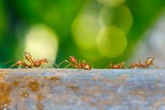 Mrówka, mrówka w naturze Obrazy Royalty Free