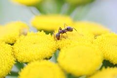 Mrówka na żółtych kwiatach Zdjęcia Royalty Free