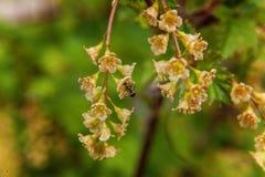 Mrówka na czerwonym rodzynku Kwiat Zdjęcia Stock