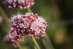 Mrówka na Kalifornia Wildflower Obraz Royalty Free