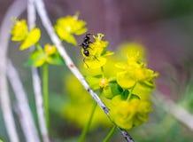 Mrówka na kwiacie Fotografia Stock