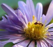 Mrówka na kwiacie Zdjęcia Royalty Free