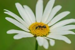 Mrówka na kwiatu stokrotkach Zdjęcie Royalty Free