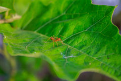 Mrówka na liściu Zdjęcie Royalty Free