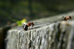 Mrówka na rasie Fotografia Royalty Free