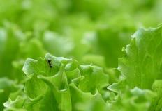 Mrówka na sałacie w ogródzie Zdjęcie Royalty Free