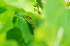 Mrówka nad liściem w ogródzie fotografia royalty free