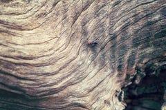 Mrówka nad tekstury drzewa oliwnego drewno Zdjęcia Royalty Free
