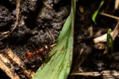 Mrówka niesie gąsienicy Fotografia Royalty Free
