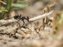 Mrówka odtransportowywa słomę Fotografia Royalty Free