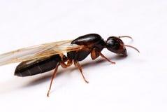 mrówka oskrzydlona zdjęcia stock