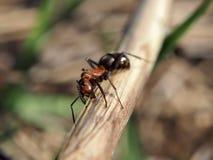 Mrówka patrzeje kamerę przy drewnianym kijem Fotografia Royalty Free