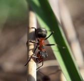 Mrówka patrzeje kamera widok od up przy drewnianym kijem Zdjęcie Royalty Free