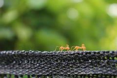 Mrówka, pomarańczowy mrówki odprowadzenie na czerni sieci Obraz Stock