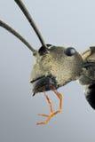 Mrówka portret zdjęcia stock