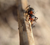 Mrówka przy drewna climving up i patrzeć kamerę Zdjęcia Royalty Free